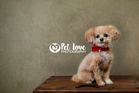 Toy Poodle | Project 52 Week 2: Consider Your Vision | Cincinnati & San Francisco Pet Photographer