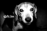 Beagle in Black & White | Project 52 Week 2: Consider Your Vision | San Francisco & Cincinnati Dog Photography
