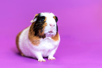 Charlie | Guinea Pig | Cincinnati Pet Photographer
