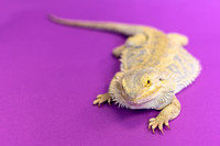 Joba | Bearded Dragon | Pet Photography Cincinnati