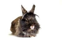 Penelope | Lionhead Rabbit | Pet Photography Cincinnati & San Francisco