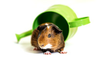 Spot | Guinea Pig | Pet Photographer San Francisco
