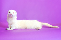 Floyd | Ferret | Cincinnati Pet Photographer San Francisco