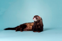 Slinky | Ferret | Cincinnati & San Francisco Pet Photographer