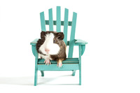 Ernie | Baby Guinea Pig | Cincinnati Pet Photographer