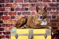 Mike | Basenji/Cattle Dog X | Cincinnati Dog Photographer