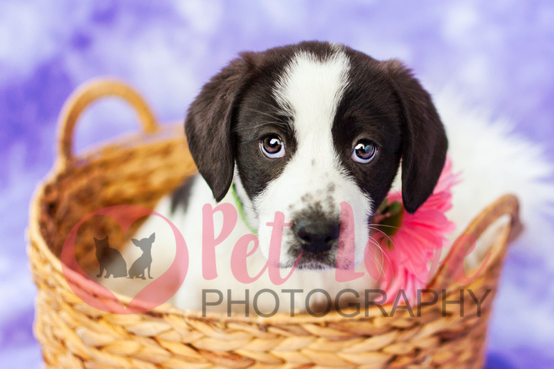 Joanna | St. Bernard | Cincinnati & San Francisco Pet Photographer