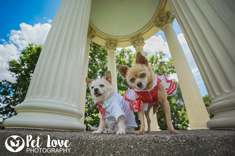 Chihuahua Engagement Photo Shoot at the Temple of Love   Cincinnati