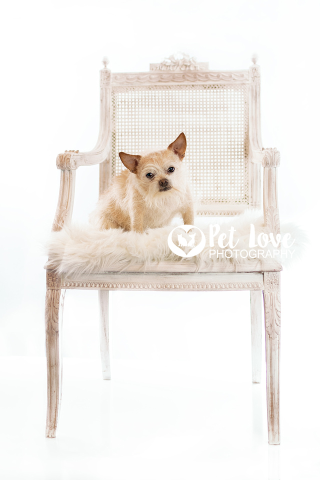 """Blond Chihuahua in white chair from Cincinnati and San Francisco Pet Photographer Pet Love Photography"""