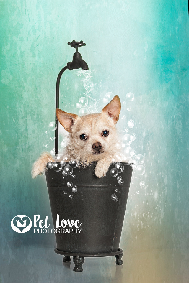 """Blond dog in bubble bath shower from Cincinnati and San Francisco dog photographer Pet Love Photography"""