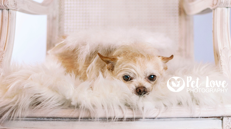 """Blond Chihuahua Mr. Bojangles in white chair from Cincinnati and San Francisco Pet Photographer Pet Love Photography"""