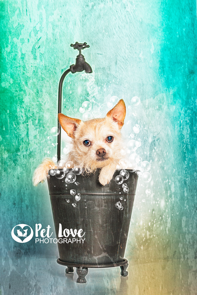 """Cincinnati and San Francisco dog photographer Pet Love Photography 's Mr. Bojangles posing in a bubble bath"""