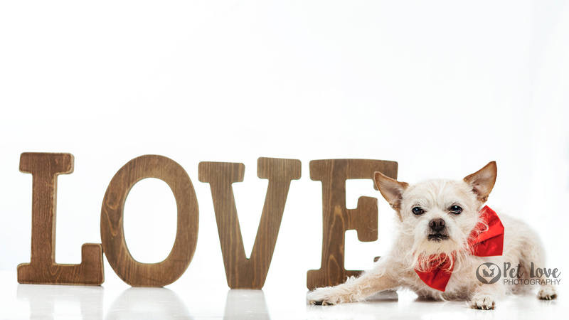 """Blond chihuahua with LOVE from Cincinnati and San Francisco Bay Area Pet Photographer Pet Love Photography"""