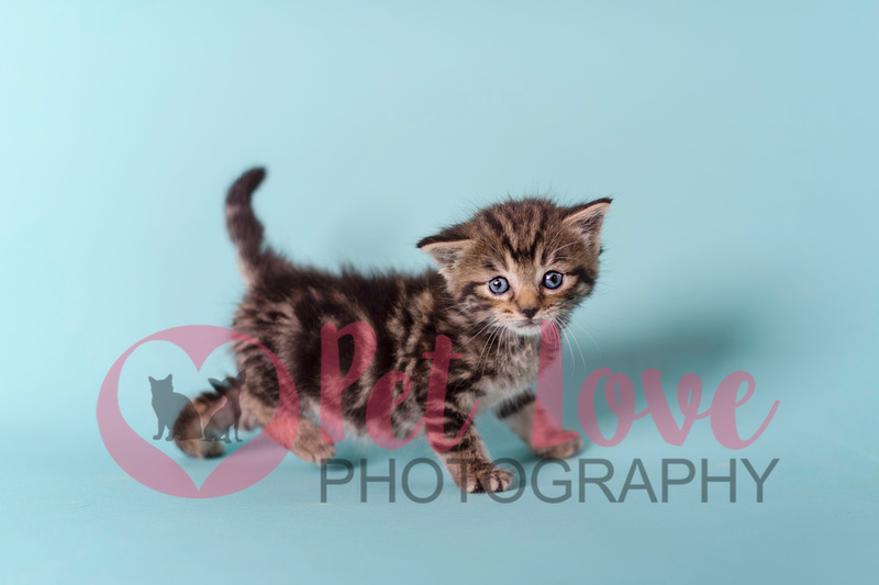 Pluizig | Tabby Kitten | Cincinnati & San Francisco Pet Photographer