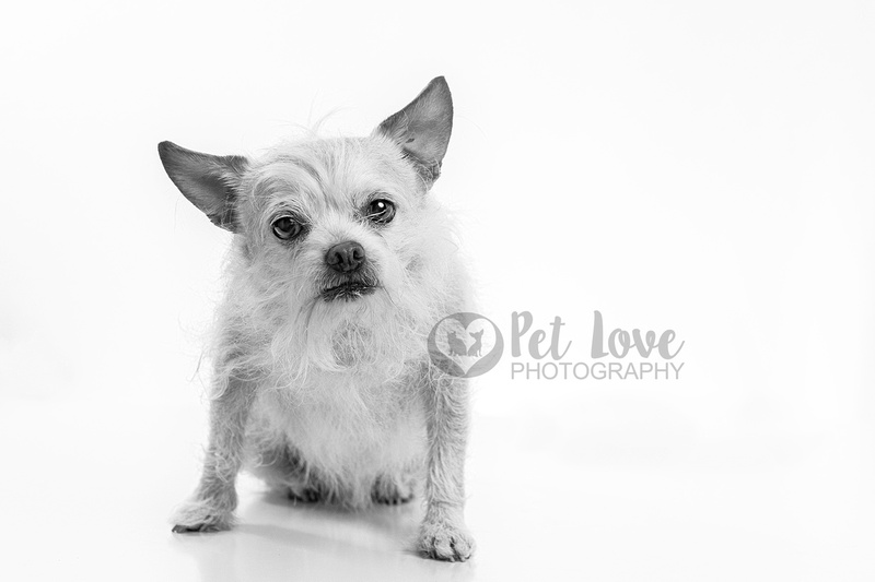 """Cincinnati dog photographer Pet Love Photography photographs Mr. Bojangles the cairnchi in black and white"""