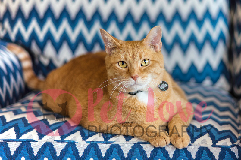 Archie | Orange Tabby | Cincinnati Cat Photography