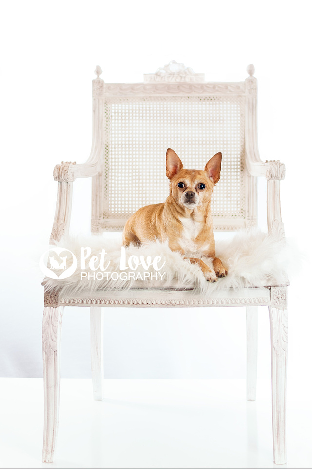 """""""Tan Chihuahua in white chair from Cincinnati and San Francisco Pet Photographer Pet Love Photography"""""""