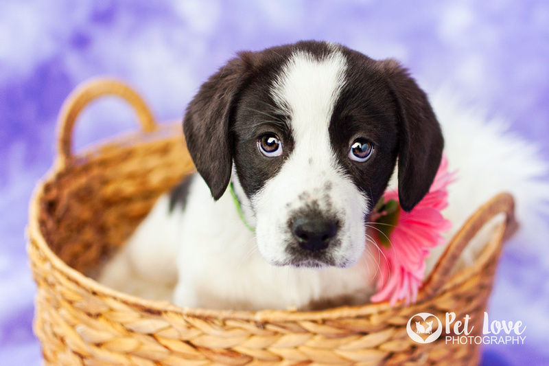 Joanna, St. Bernard Puppy | Project 52 Week 3: Ask Better Questions | Bay Area & Cincinnati Pet Photographer