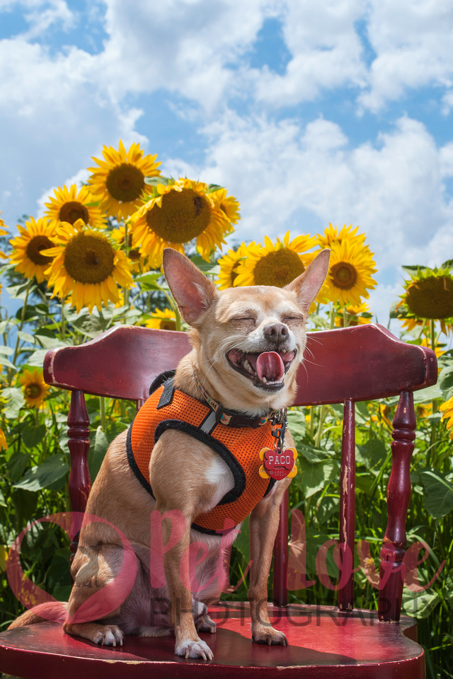 Paco | Chihhuahua | Cincinnati & Bay Area Pet Photographer